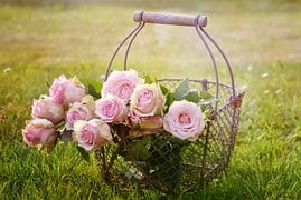Roses, Blossom, Bloom, Pink Rose