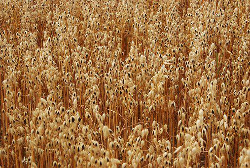 Grain, Agriculture, Agricultural, Field