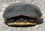 painted turtle, chrysemys picta, withdrawn