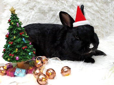 Rabbit, Hare, Munchkins, Long Eared