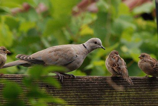 Pigeon, Dove, Turtle Dove, Mus, Bird