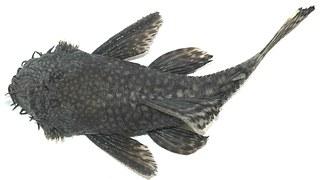 Catfish Magur Tilapia - Free photo on Pixabay