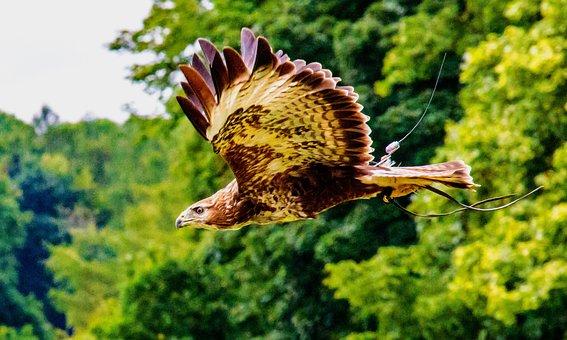 Aquila Pescatrice Africana