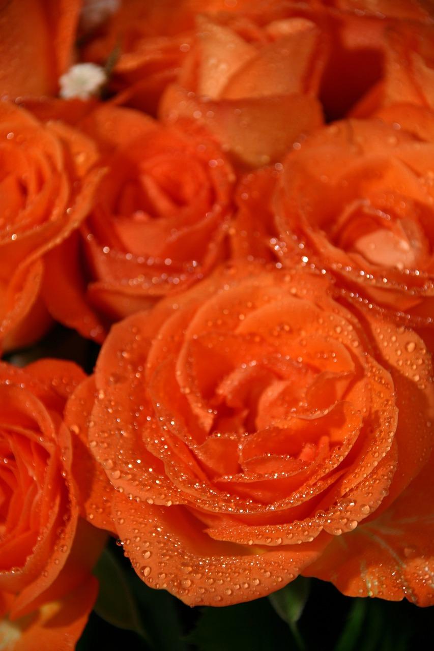 интересная оранжевая роза фото и открытки стихия перевозка