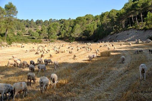 Sheep, Goat, Nature, Flock, Farm, Animal