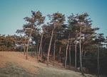 woods, pine tree