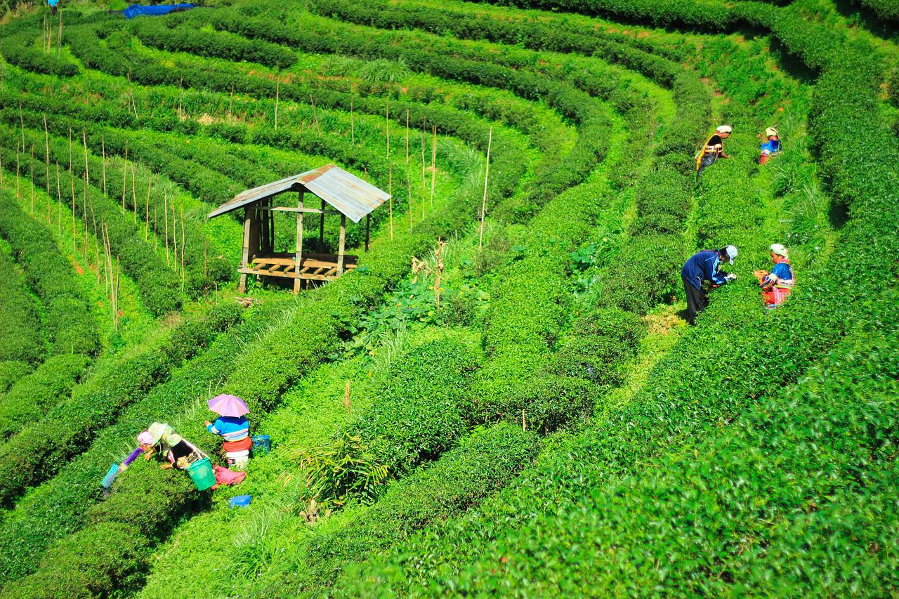 the tea plantation essay For instance, irish breakfast tea, a maltier and stronger breakfast tea, consists of small-sized assam tea leaves the state of assam is the world's largest tea -growing region, lying on either side of the brahmaputra river, and bordering bangladesh and burma (myanmar.