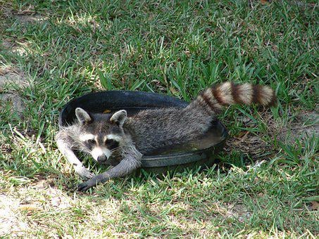 Raccoon, Water, Lazy, Human-Like, Cute