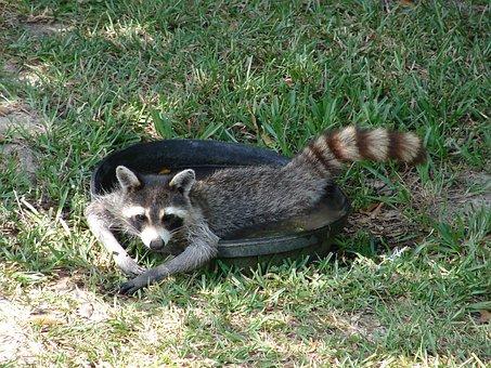 Raccoon, Water, Lazy, Human-Like, Cute