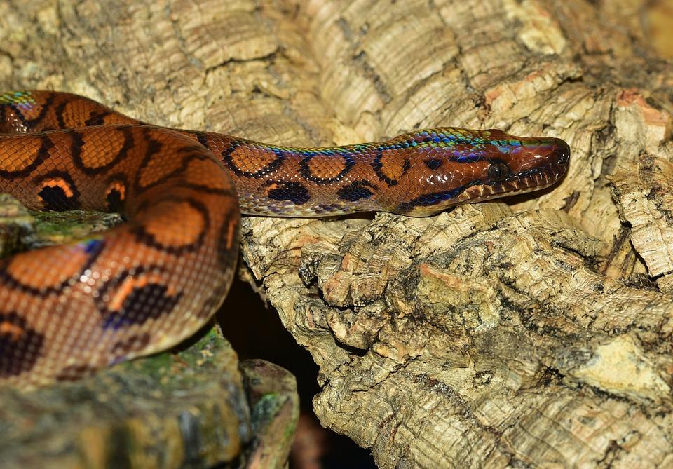 Red Python Snake