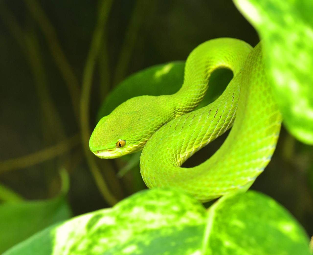 Green Bush Viper Atheris - Free photo on Pixabay