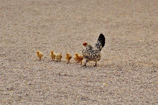 Chicks, Chicken, Hen, Dam, Small
