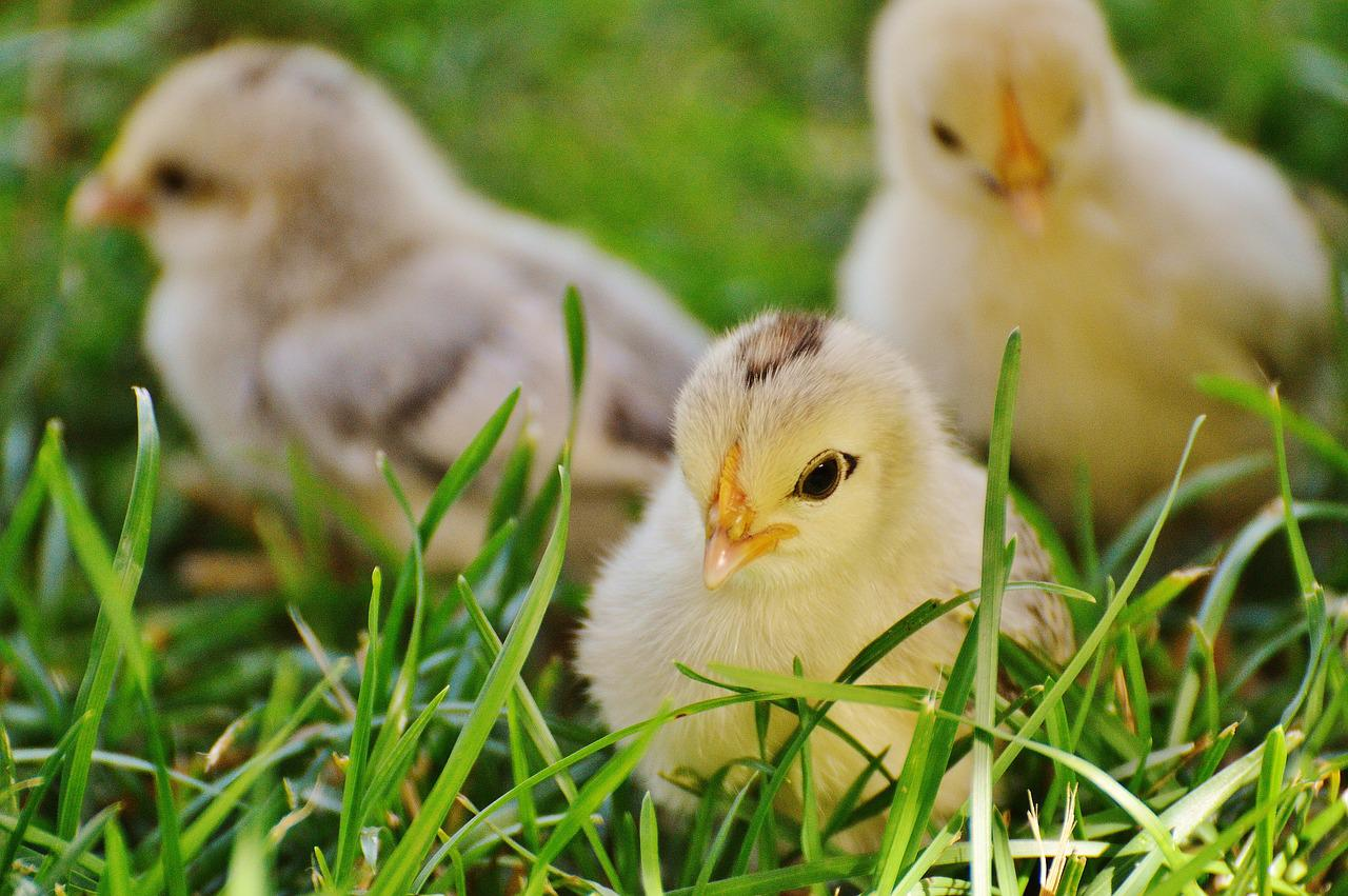 его красивые цыплята картинки весна принесет вашу