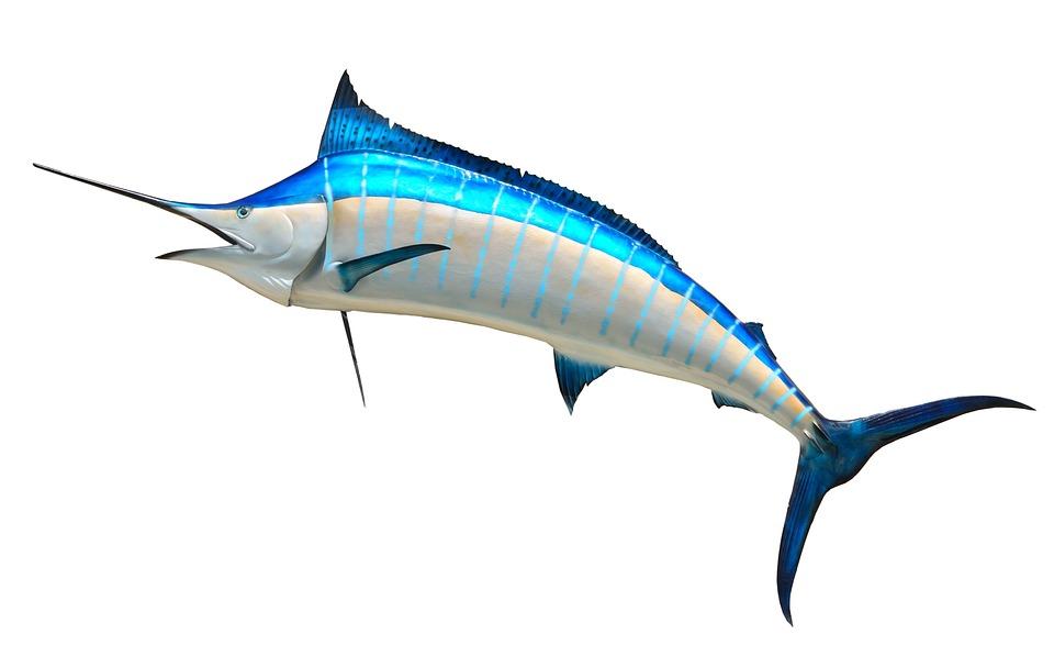 Free Photo Blue Marlin Taxidermy Fish Free Image On