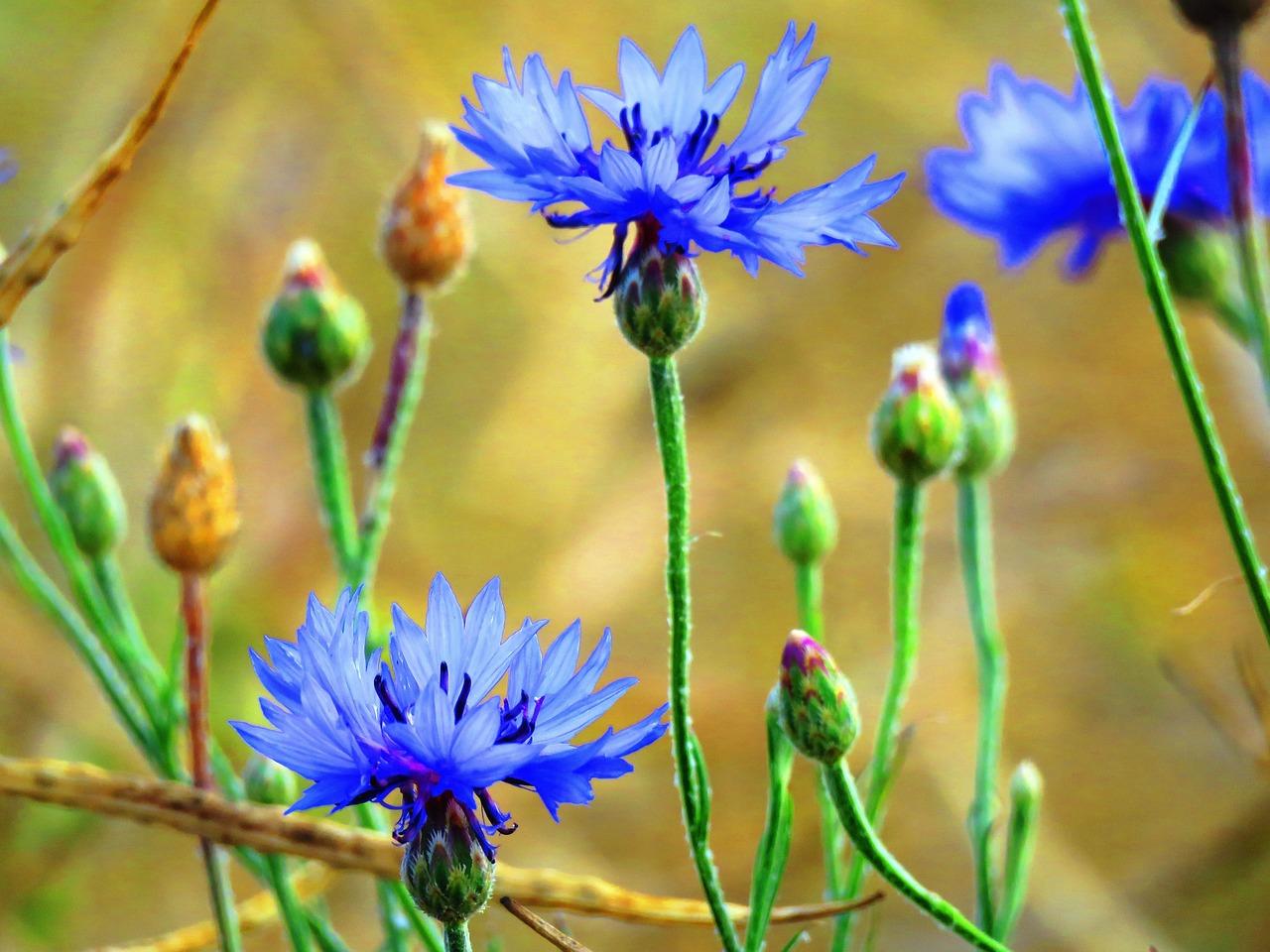 Цветок василёк полевой фото