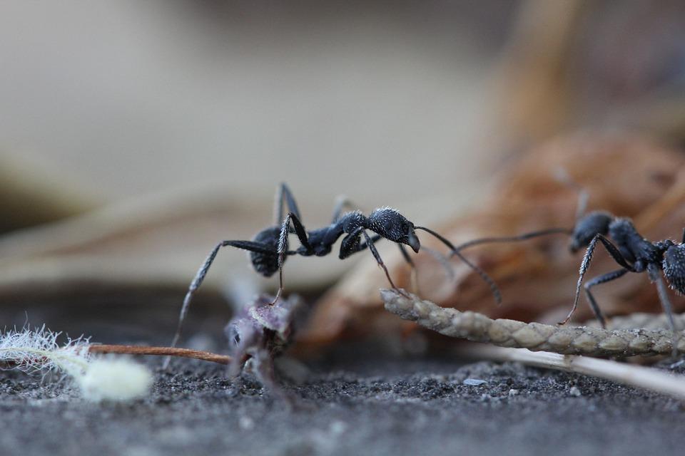 Fourmis, Insecte, De Jardin