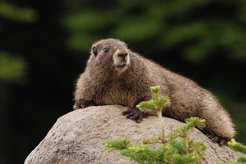Marmot, Hoary Marmot, Rock, Sun, Fauna