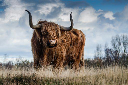 Bull, Landscape, Nature, Mammal, Animal