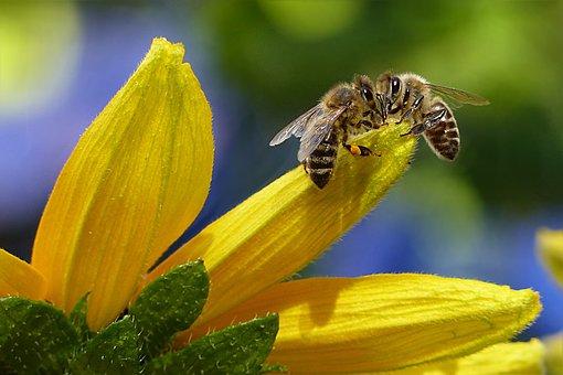 Bee, Honey Bee, Apis, Insect, Flower