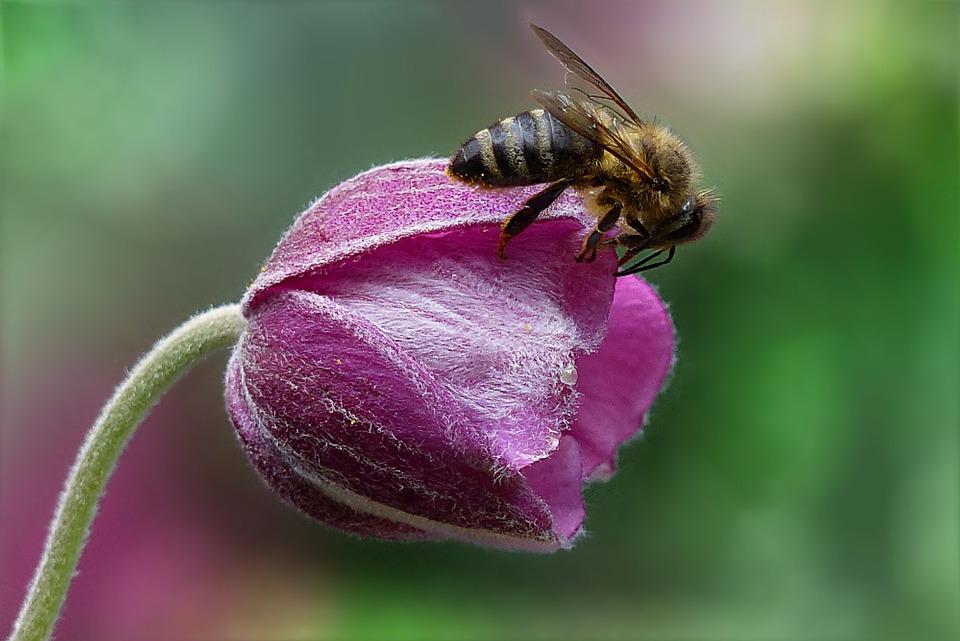 Ape, Honey Bee, Api, Insetto, Fiore, Giardino