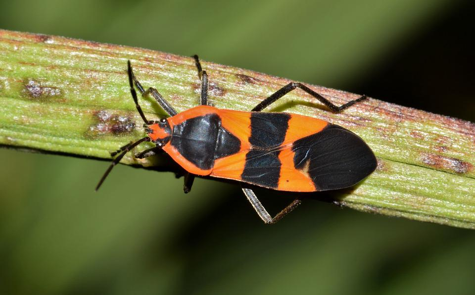 large milkweed bug insect free photo on pixabay. Black Bedroom Furniture Sets. Home Design Ideas