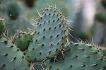 fig, barbarism, prickly pear