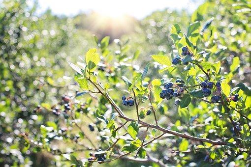 ブルーベリー, ブッシュ, 自然, ベリー, 健康, 食品, 有機, 青