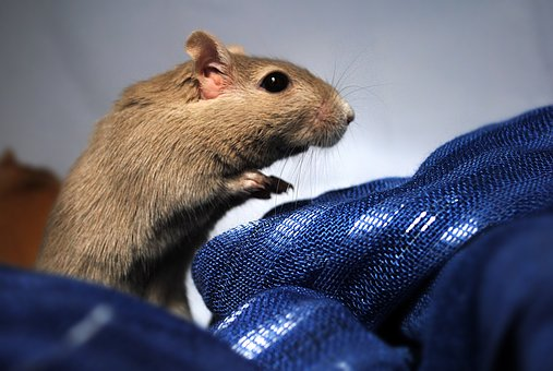 Gerbil, Rodent, Domestic Animal