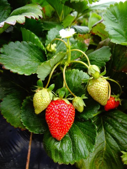 Strawberry Plant, Strawberry, Fruit
