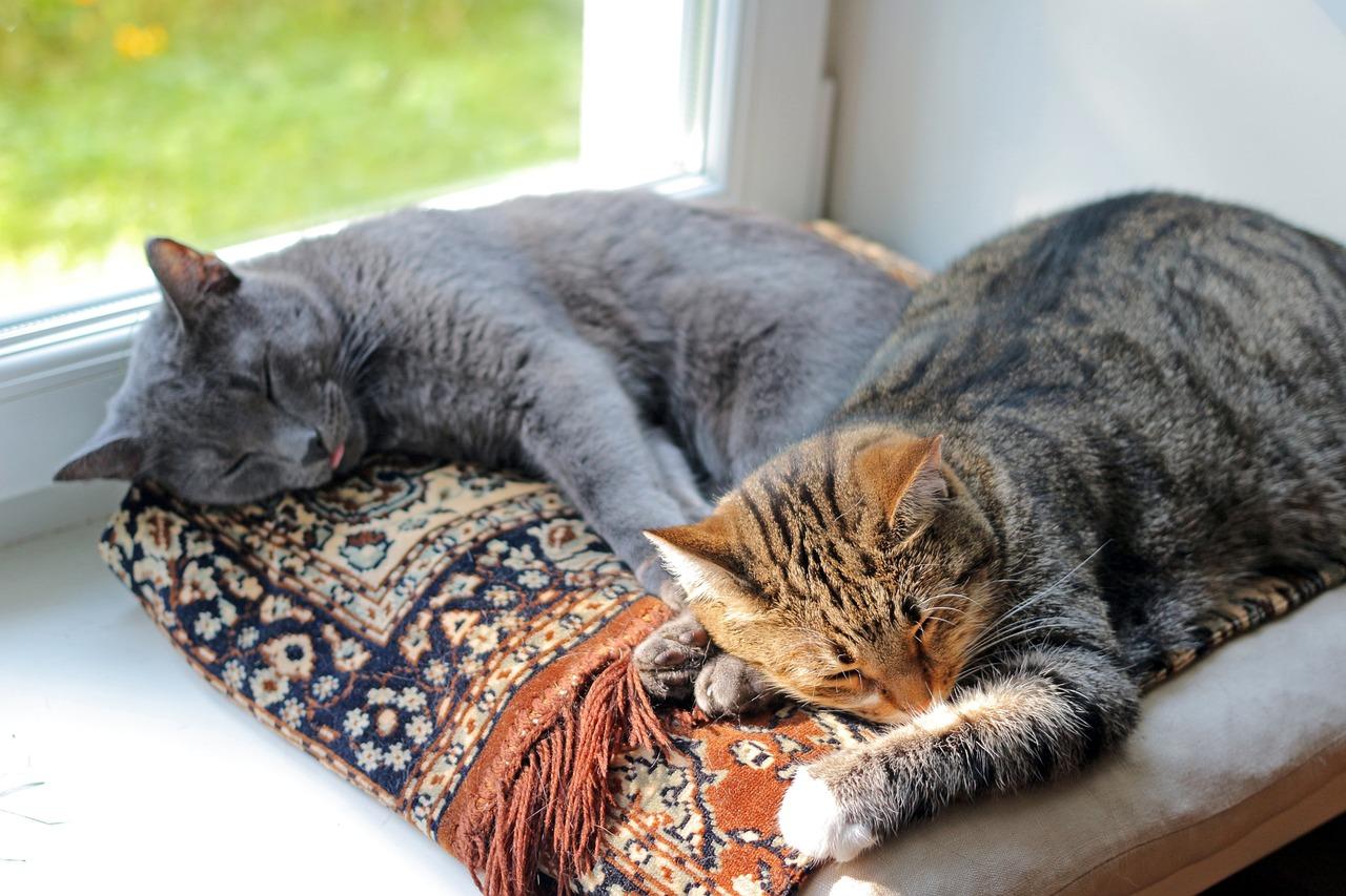 фото кошек когда спят атласные лацканы