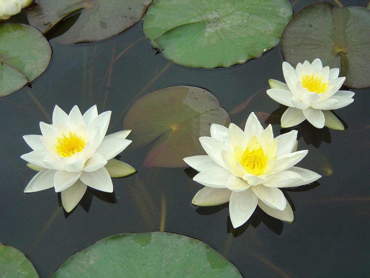 Доброе, картинки кувшинка белая водяная лилия