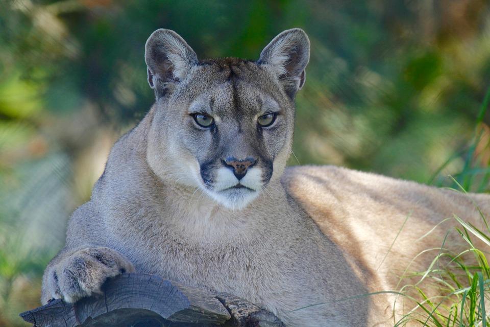 Mountain Lion, Wild, Elephant, Calf, Africa, Baby