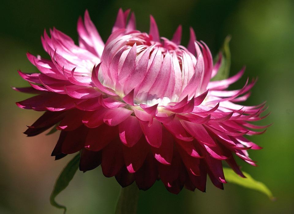 Strohblumen Trocknen kostenloses foto helichrysum strohblume trocknen kostenloses