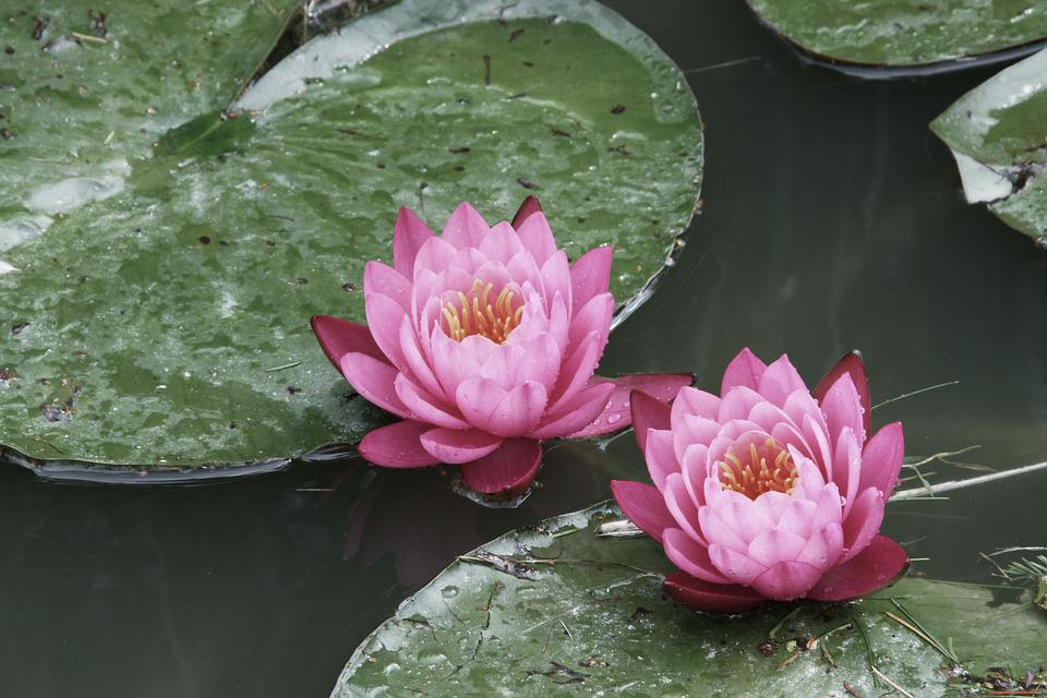 free photo water lilies, flowers, summer, pond  free image on, Beautiful flower