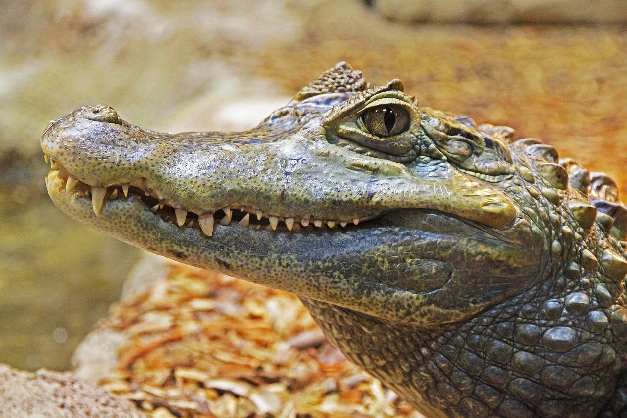 Alligator Gator Teeth - Free photo on Pixabay