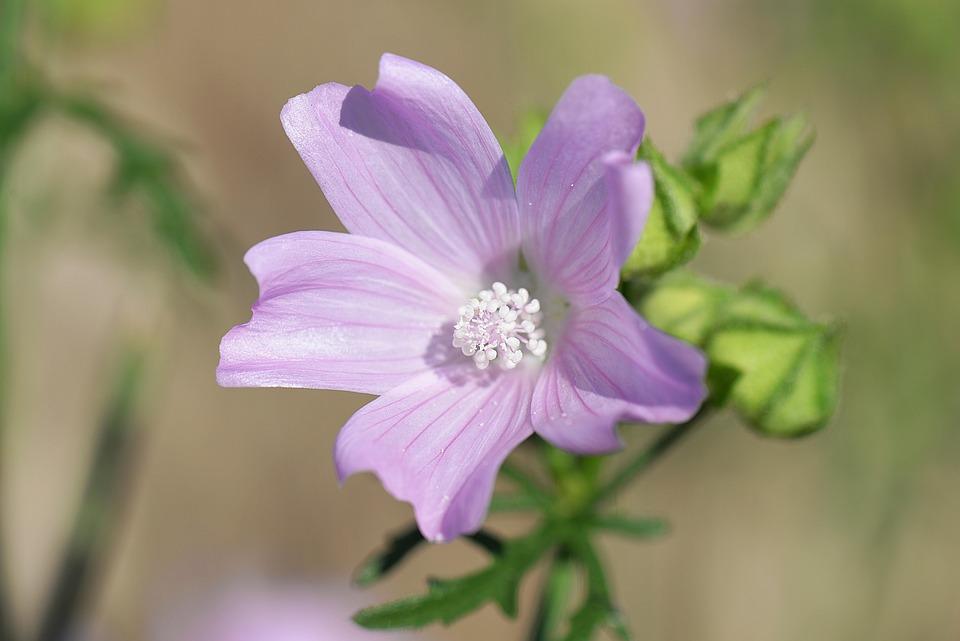Mauve Mallow Rose Fleur Sauvage Photo Gratuite Sur Pixabay