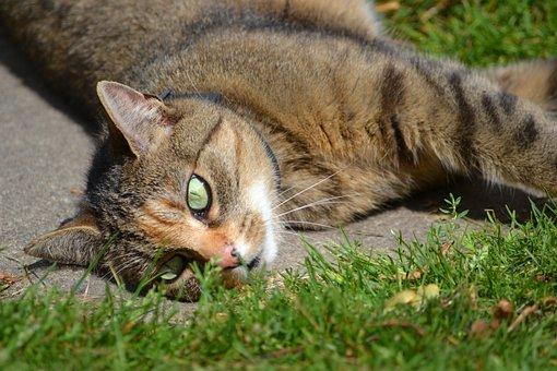 zrelé Veľká mačička