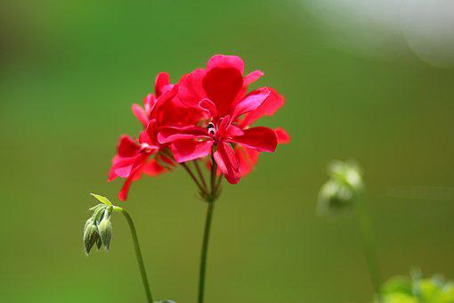 Geranie single red
