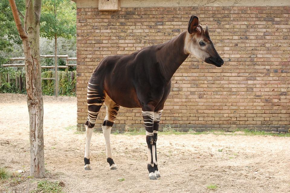 Okapi, Des Animaux, Zoo, Mammifères, Afrique