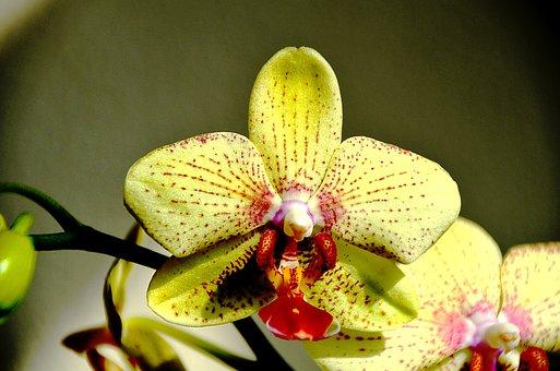 Orquídea, Flor Amarilla, Color De Rosa