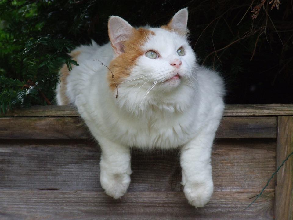 Cat, White, Turkish Van, Feline, Pet, Cute, Fur, Kitty