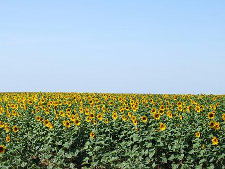 France, Sunflowers, Blue, Sky, Yellow