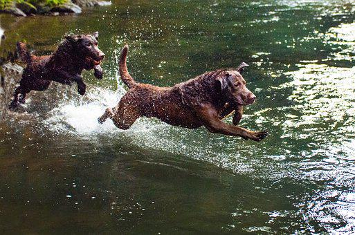 Chesapeake Bay Retriever Puppies For Sale in Montana