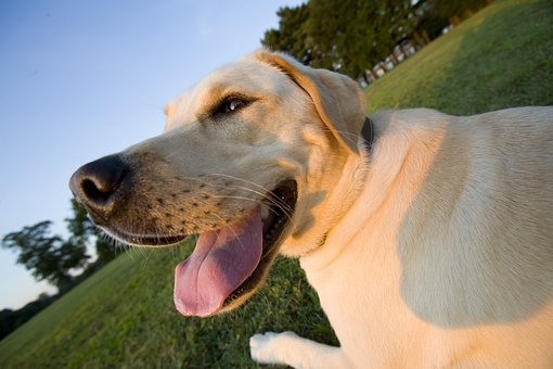Family, Pet, Dog, Yellow Lab