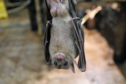 Fruit Bat Bat Fruit Flying Wildlife Animal