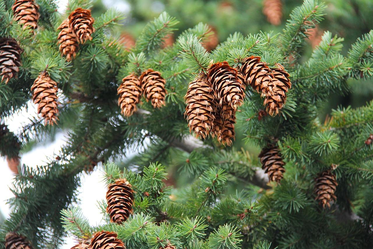 объявления на картинке шишки с деревом иосифа появилось ещё