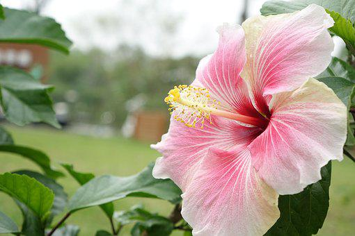 1000 Free Hibiscus Flower Images Pixabay