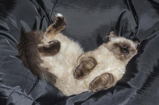 Cat, Kitten, Pets, Tabby Kitten