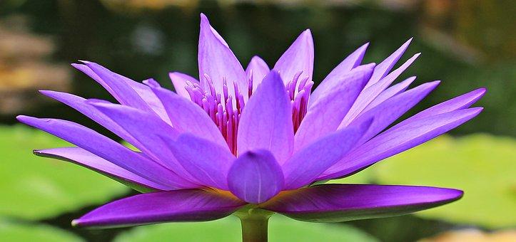 Water Lily, Nuphar Lutea, Aquatic Plant