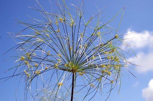 Papyrus, Blume, Pflanze, Seggen